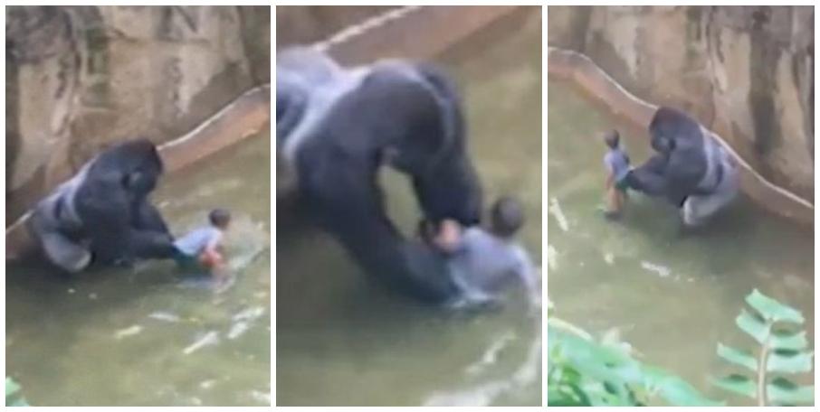 Video Mataron a gorila en un zoológico de Cincinnati